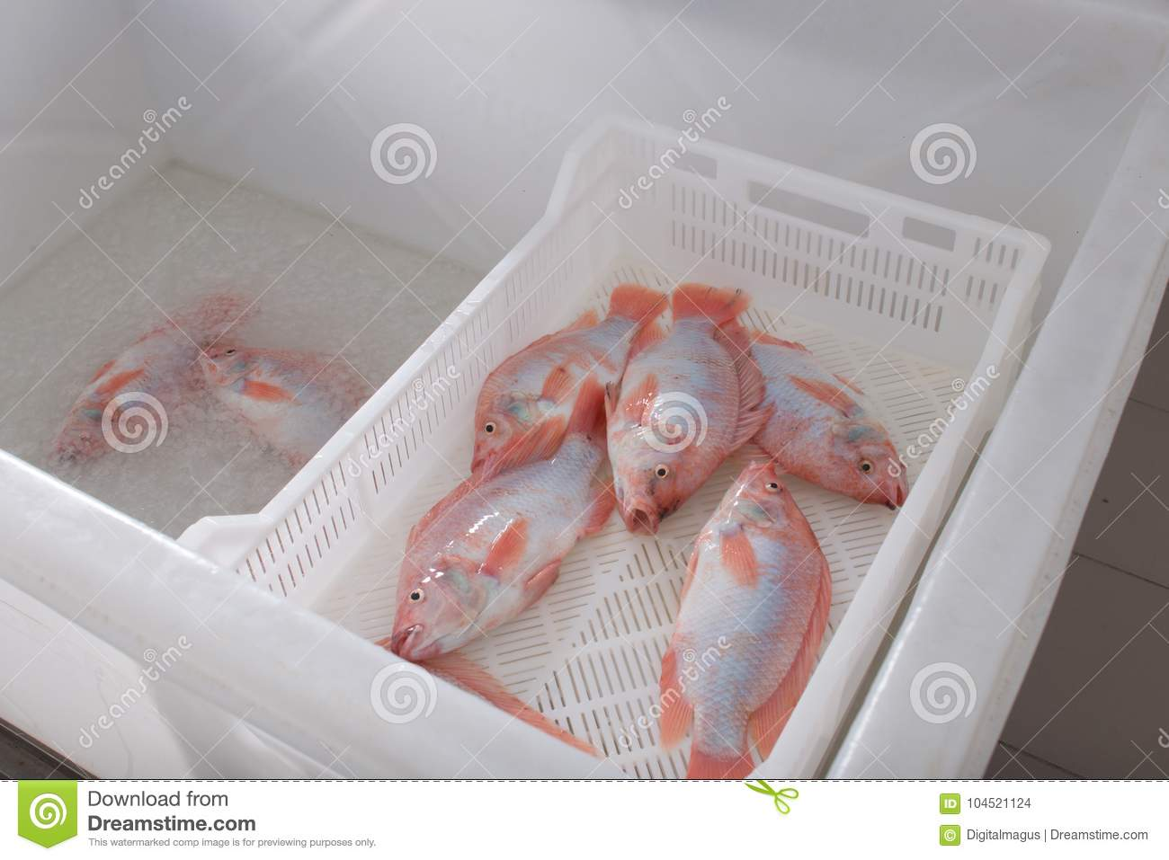 Freshly Caught Fish Tilapia In A Drawer, Cooling Fish In Ice