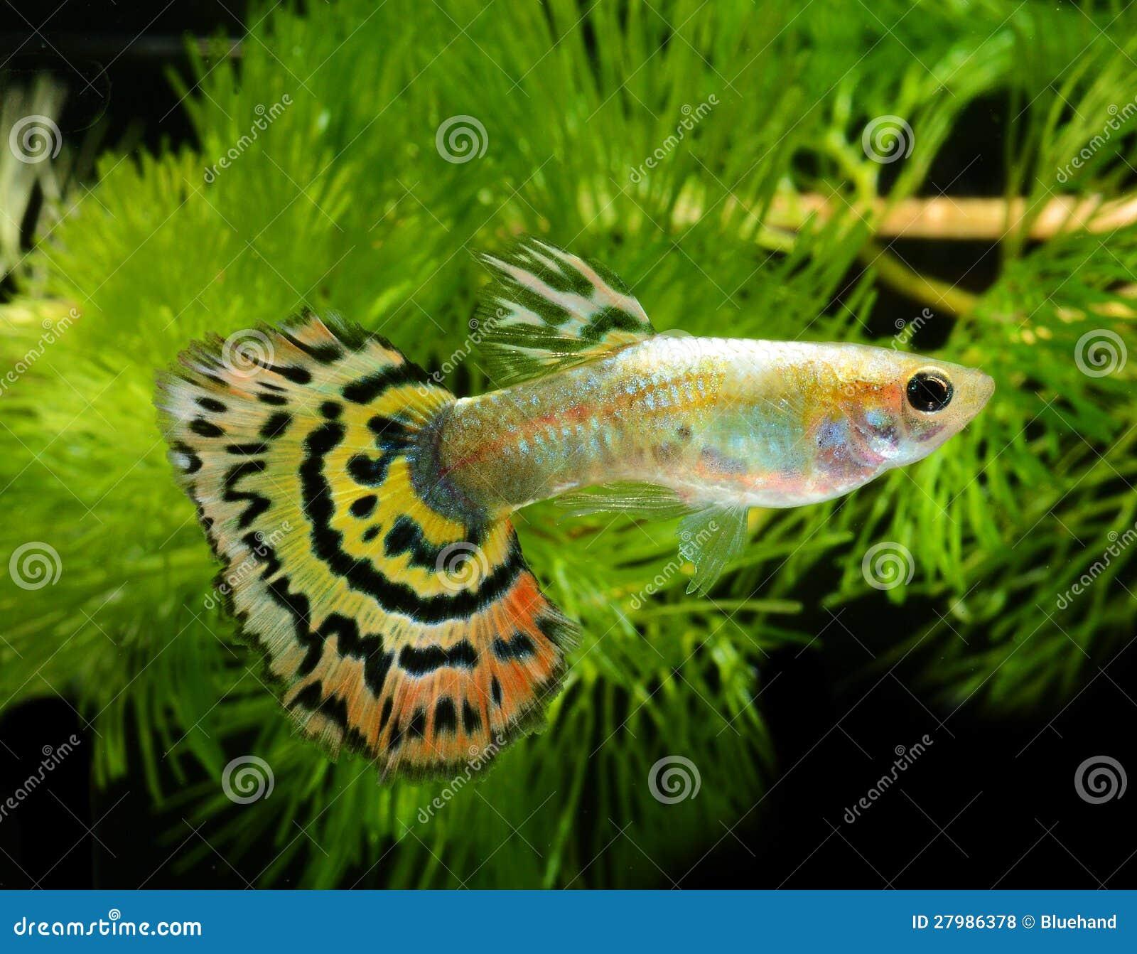 fish guppy stock photo  image of fresh  animal  fish