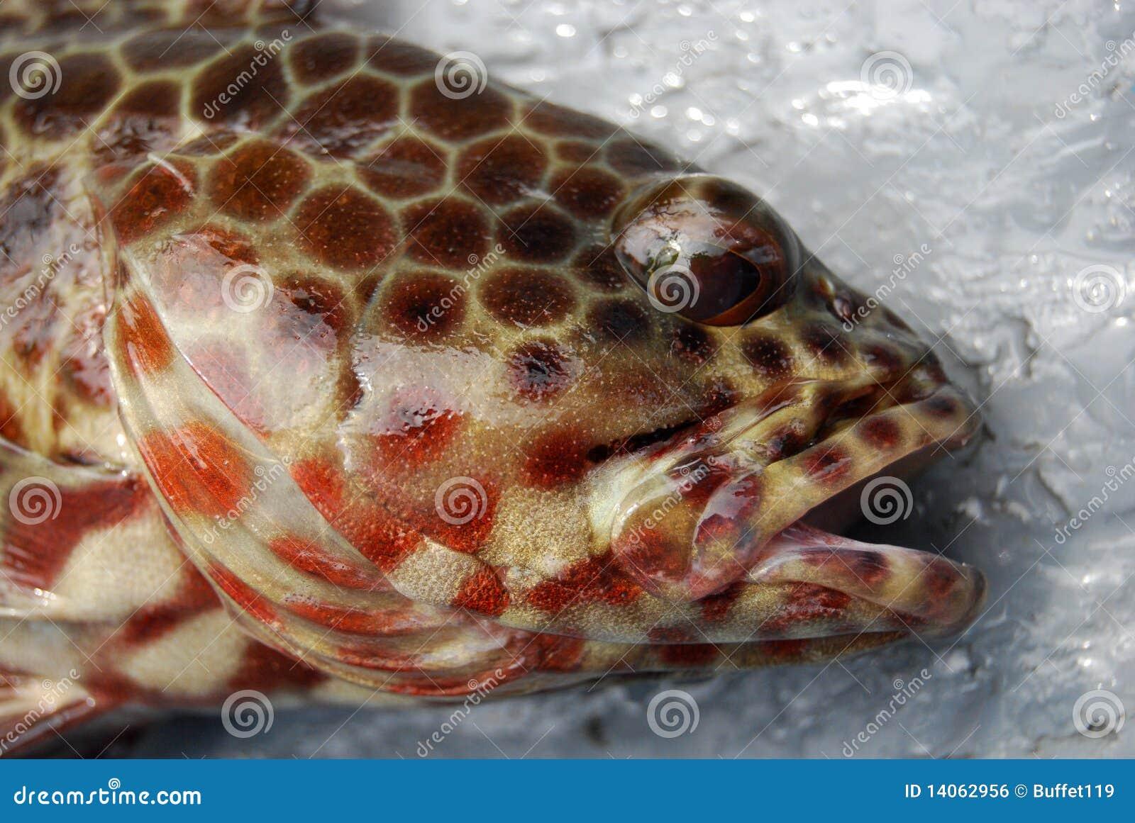 Fish head royalty free stock image image 14062956 for Fish head app