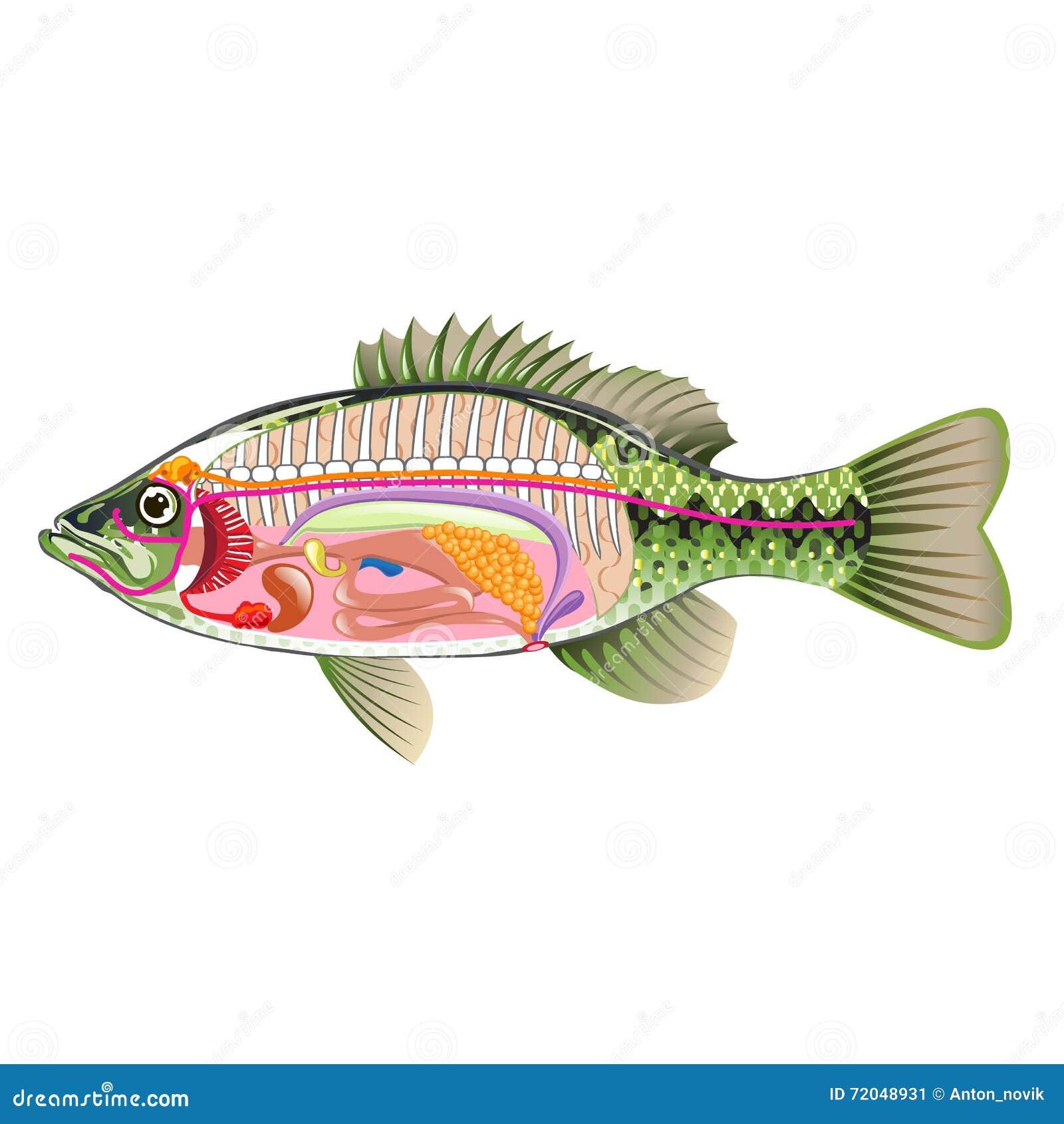 Fish Internal Organs Vector Art Diagram Anatomy Without