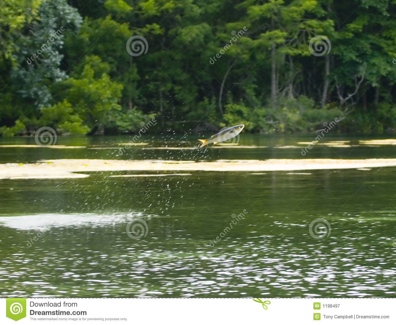 Fish jumping out of water royalty free stock photography for Dream about fish out of water