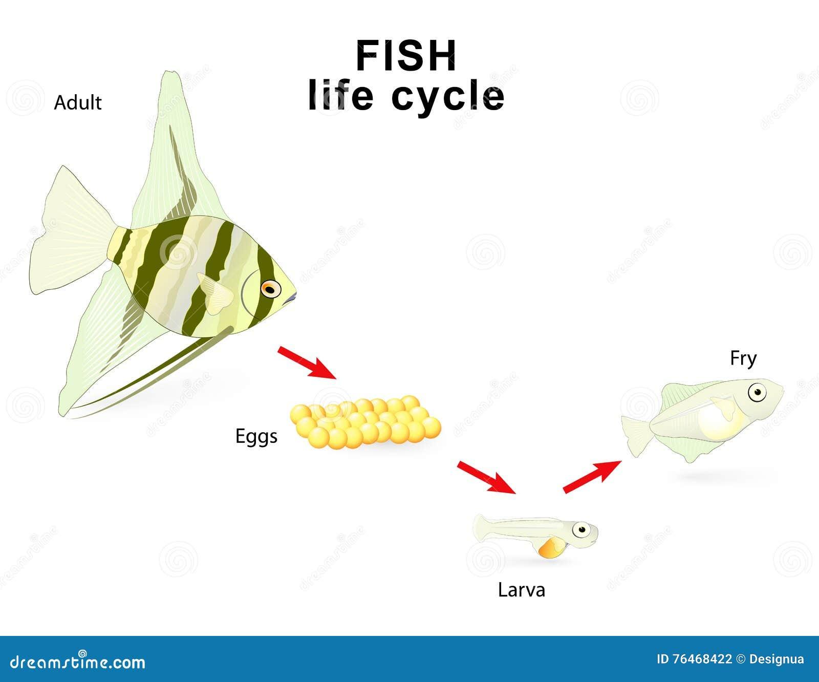Fish Life Cycle Vector Illustration