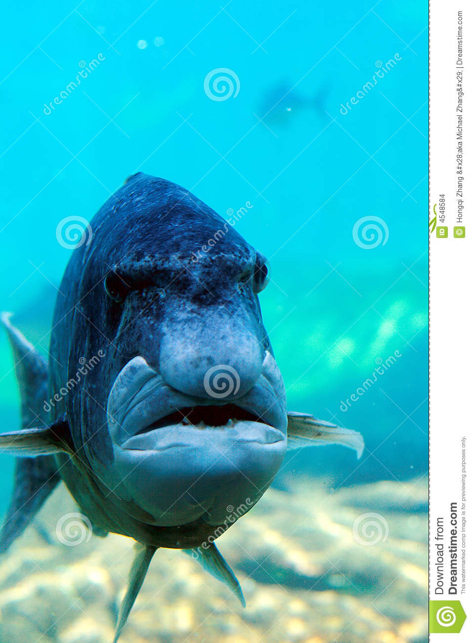 Fish Looks Like Human Face Stock Images - Image: 4548584