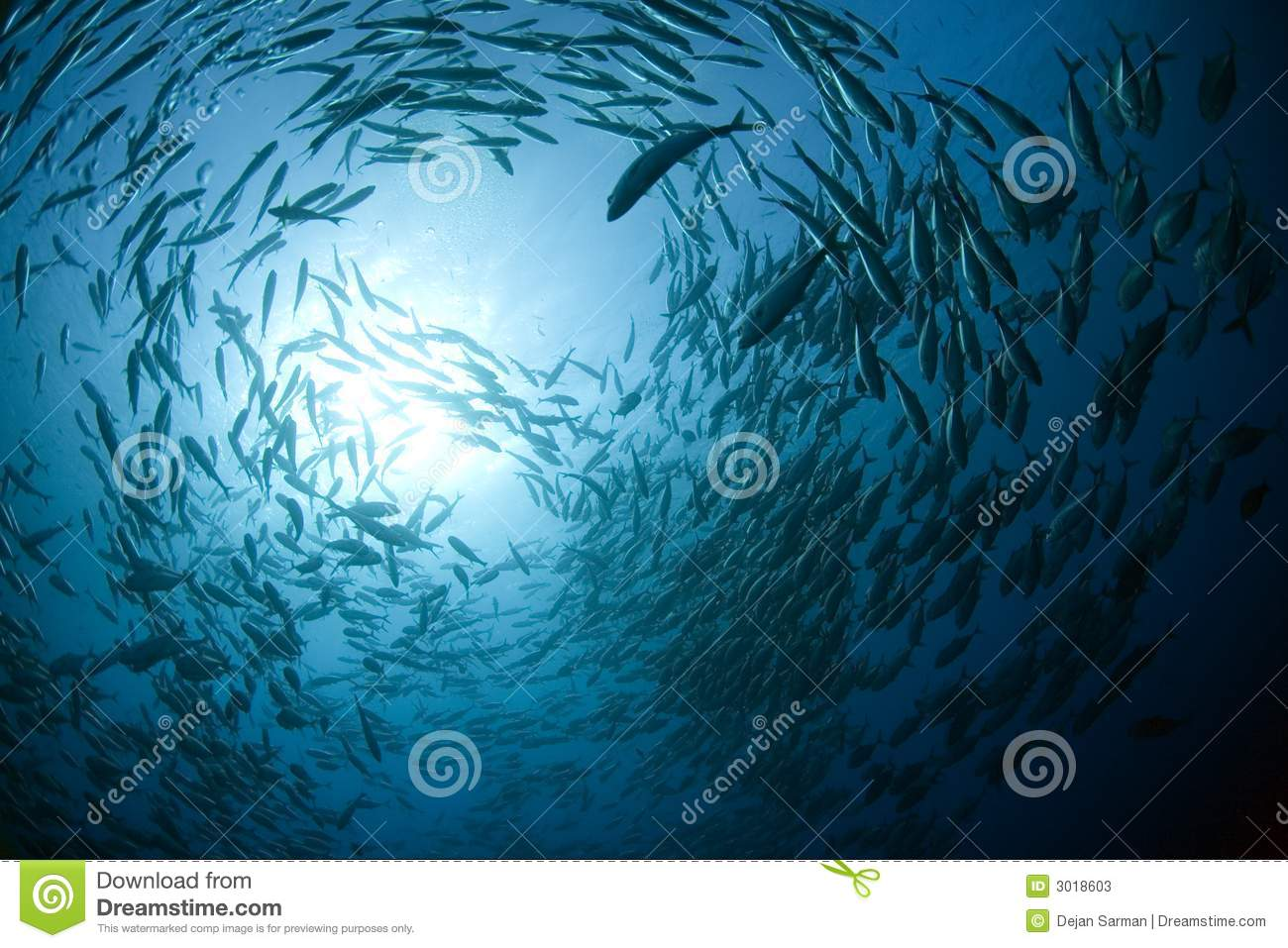 large school of fish swim in circles in the ocean, with some ...