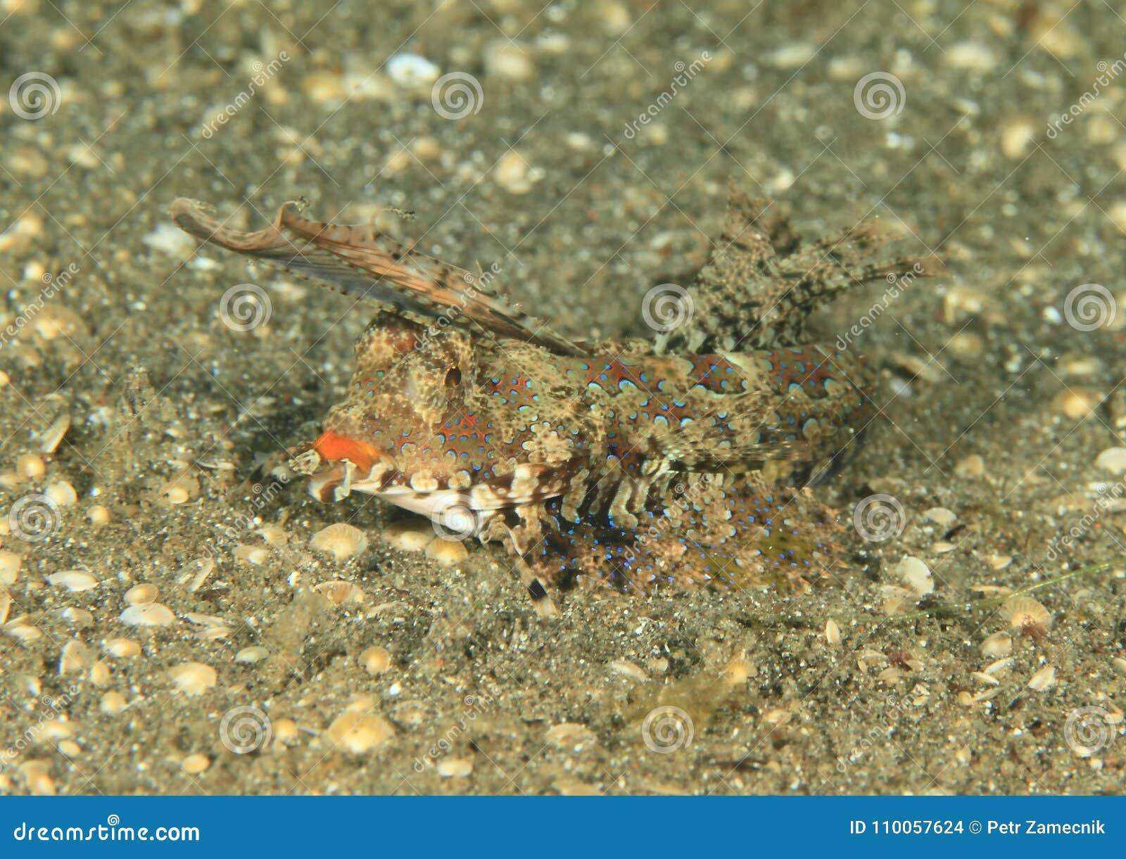 Fish - Orange and black dragonet