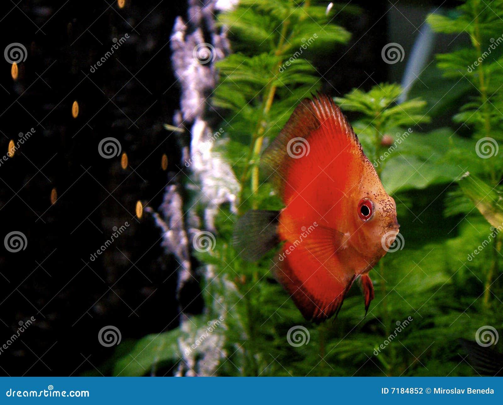 Fish - orange Discus stock photo. Image of aquarium, exotic - 7184852