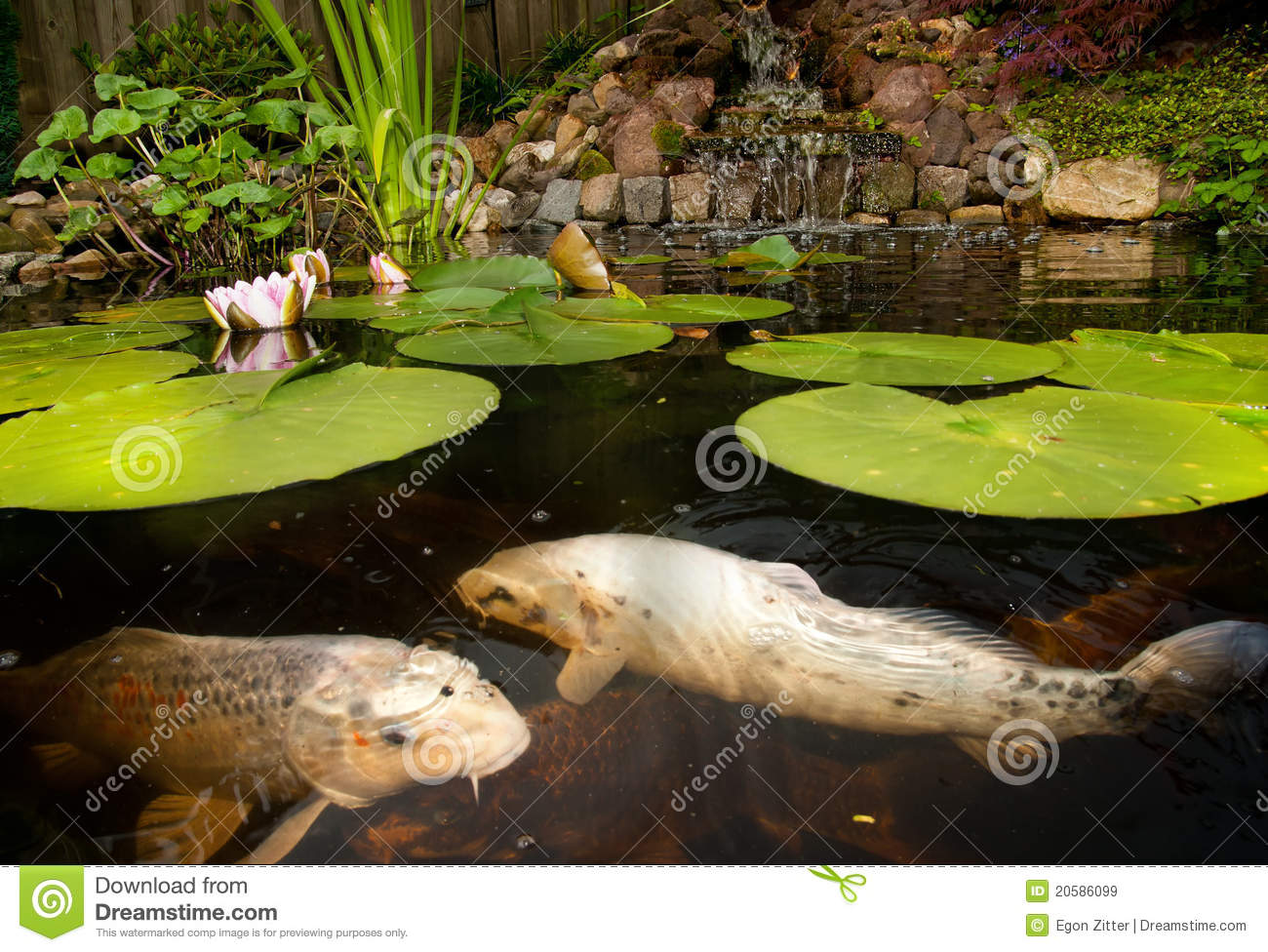 Fish In A Pond Royalty Free Stock Images Image 20586099