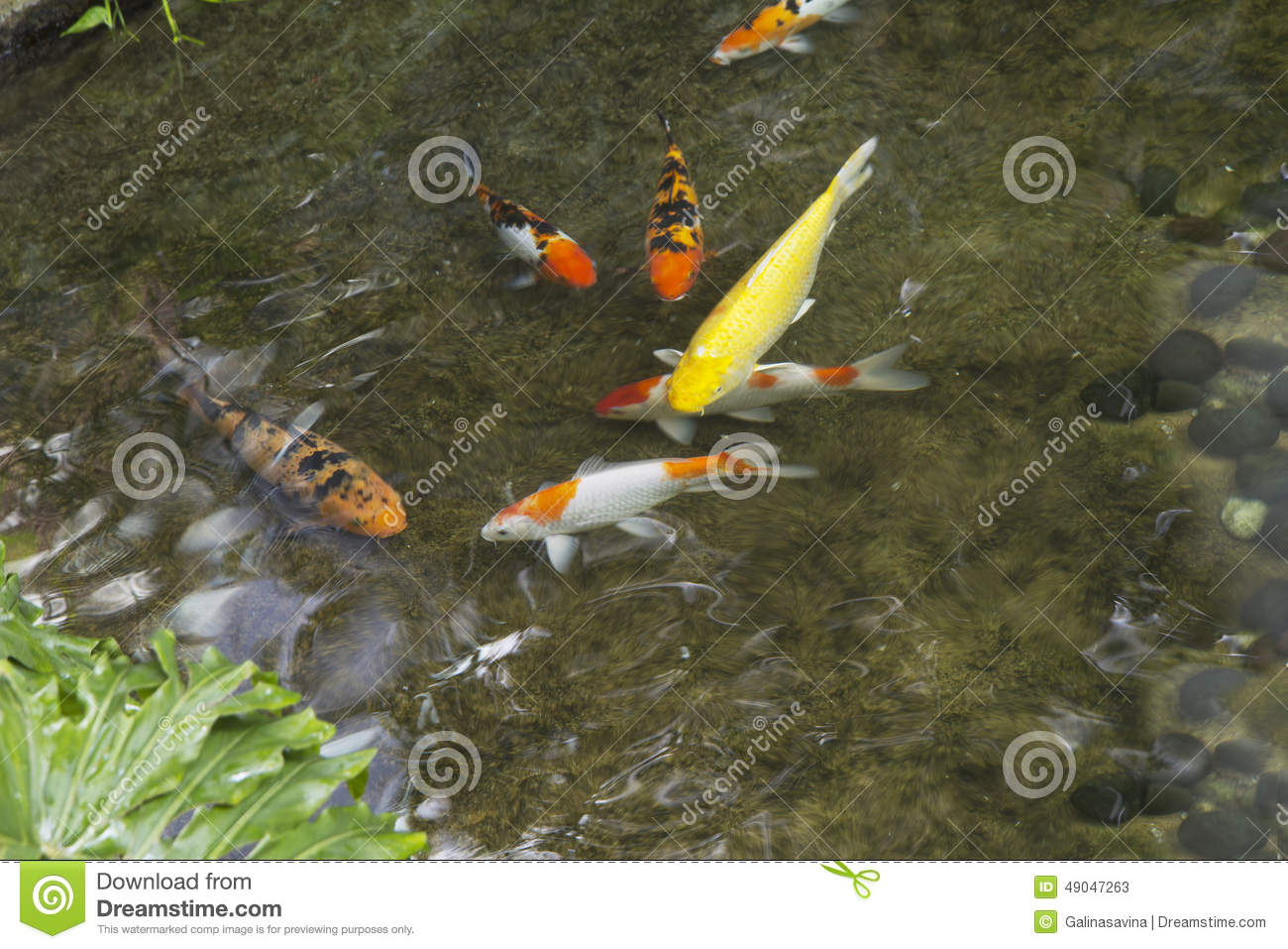 Fish in the pond stock photo image 49047263 for Artificial koi fish