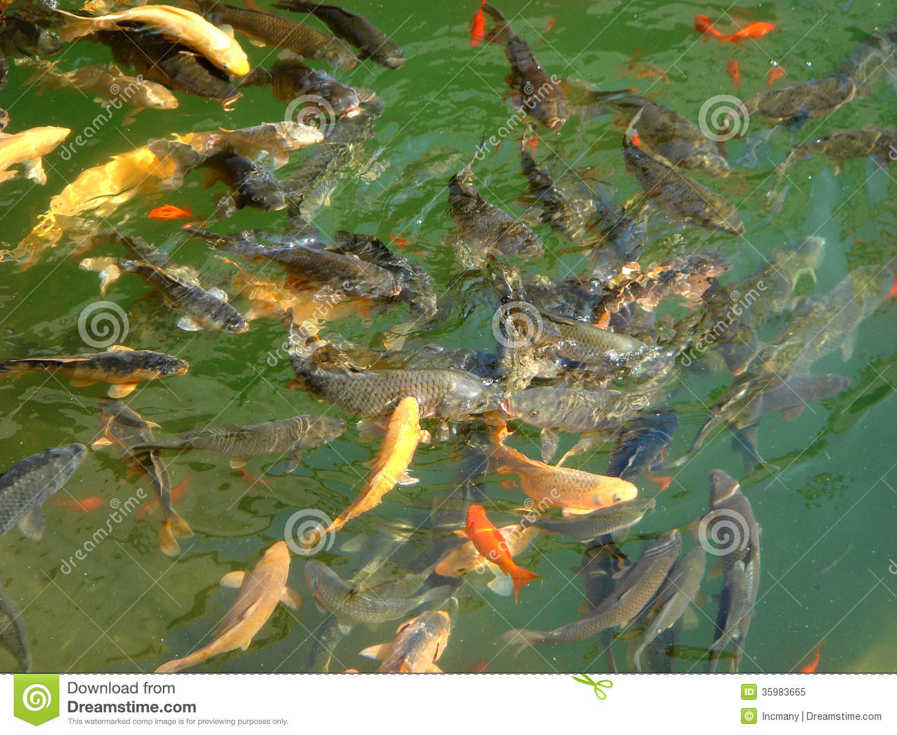 Fish In Pool Stock Image Image Of Shoal Fish Green
