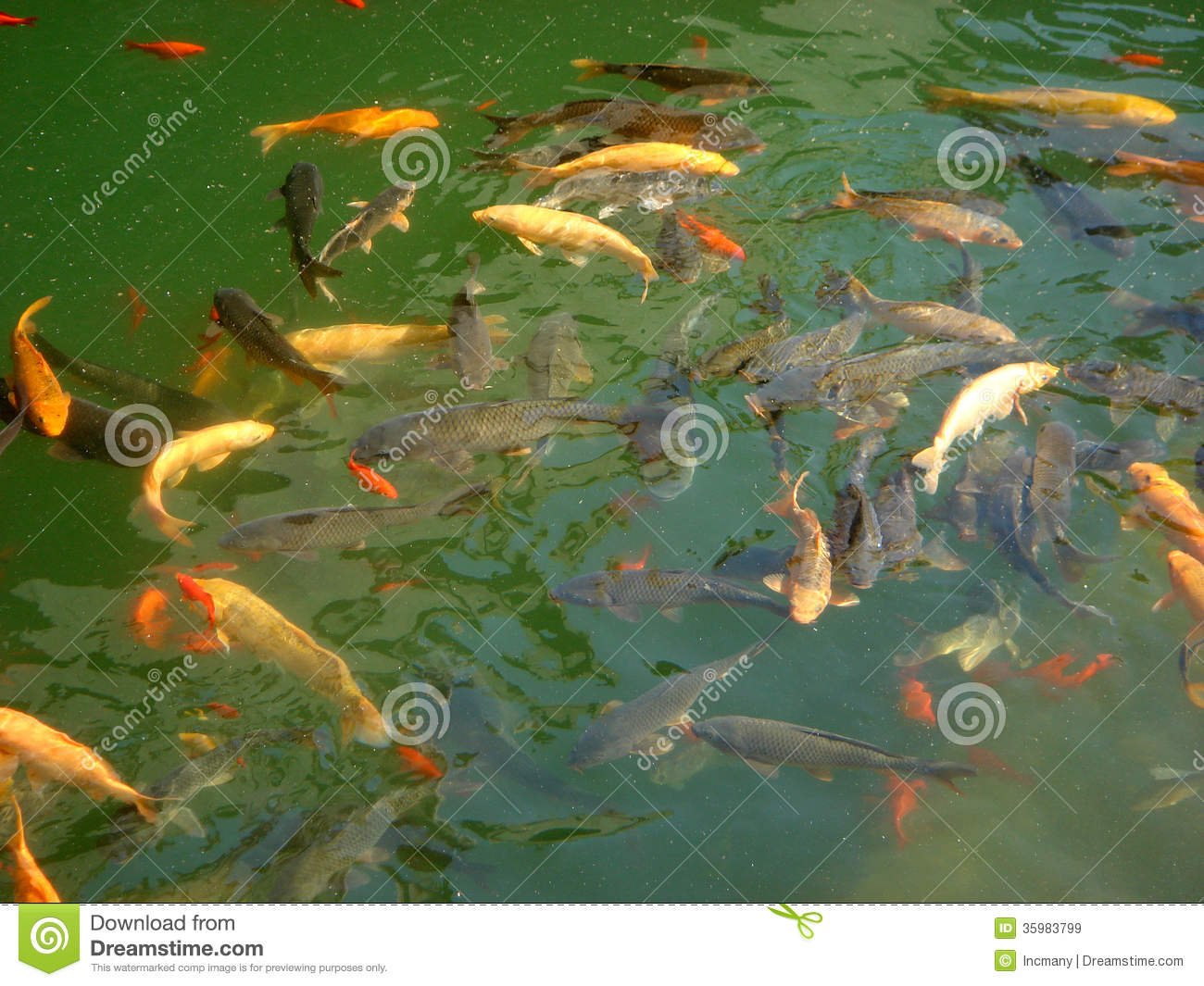 Fish In Pool Royalty Free Stock Images Image 35983799