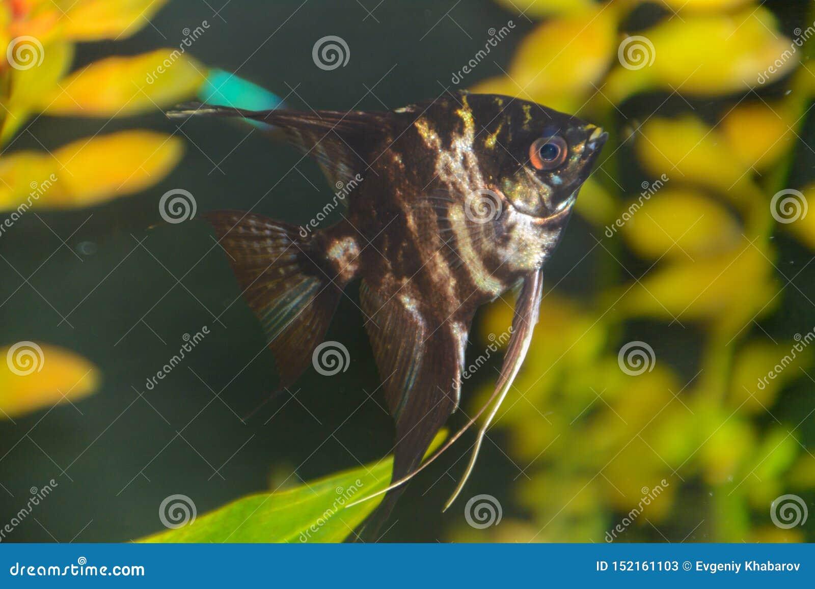 Fish pterophyllum scalare Angelfish, Red devil scalar.
