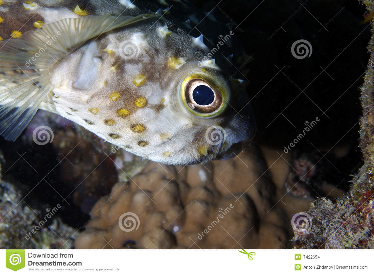 Fish in the red sea stock photo image of hiding marine for Red sea fish