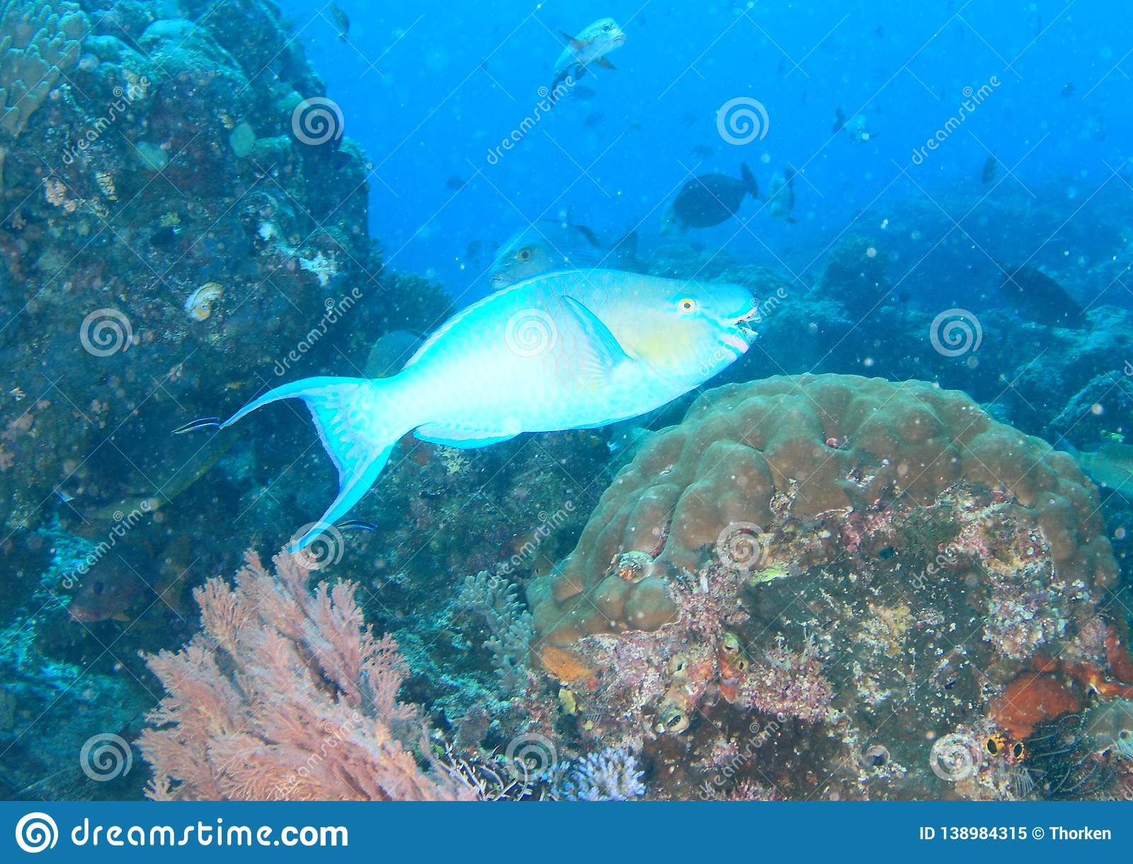 Fish Redlip parrotfish stock image. Image of barat ...