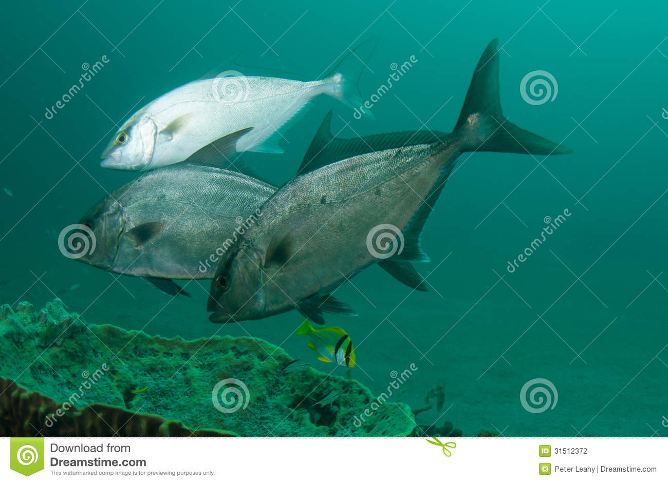 Fish on a reef in florida stock photography image 31512372 for Fish hunt fl