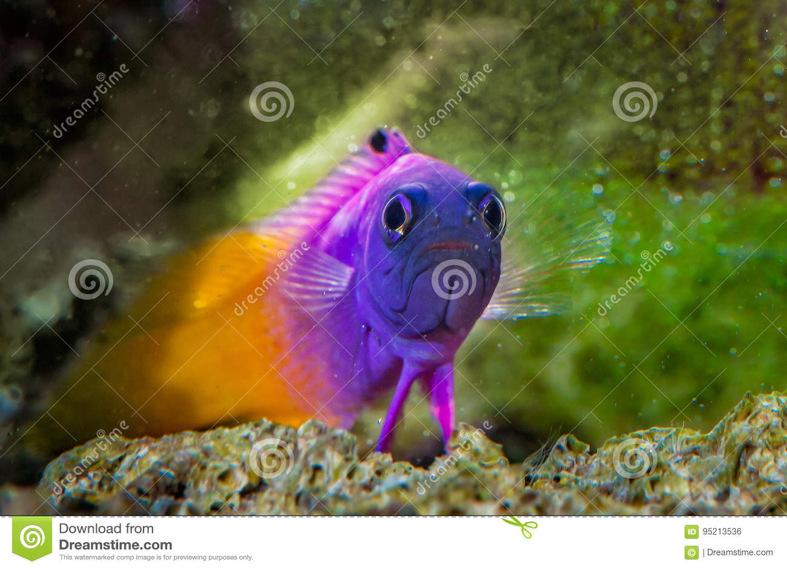 Fish Royal Gramma Basslet