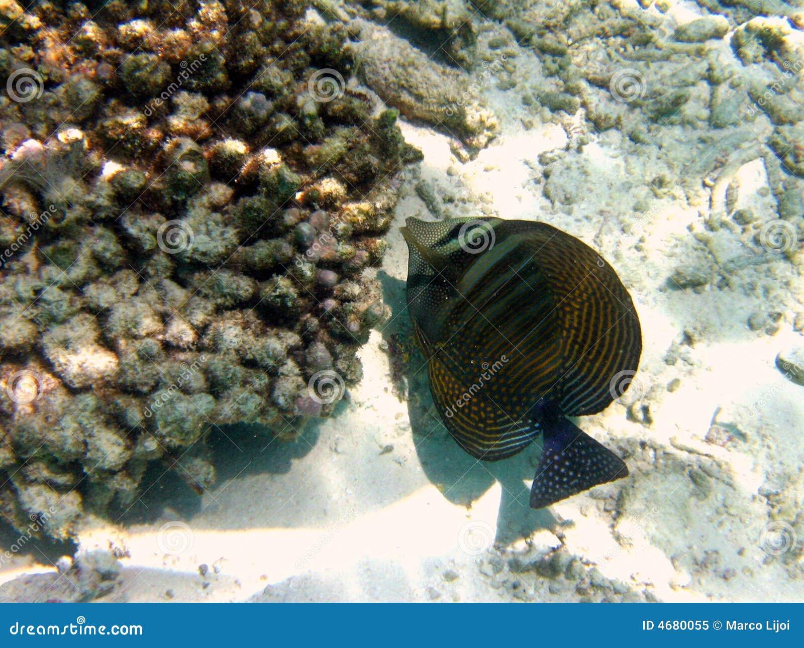 Fish : Sailfin Tang