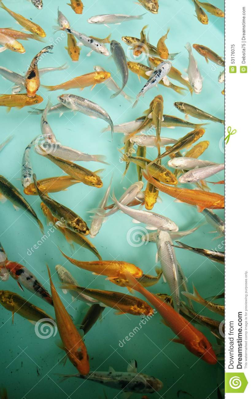 Fish for sale stock photo image 53176075 for Mini carpe koi