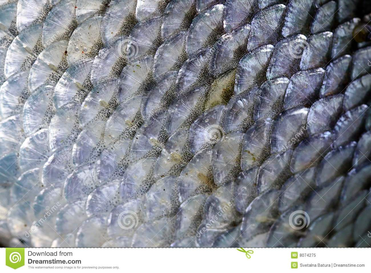 Fish scales royalty free stock photo image 8074275 for Mlf fishing scale