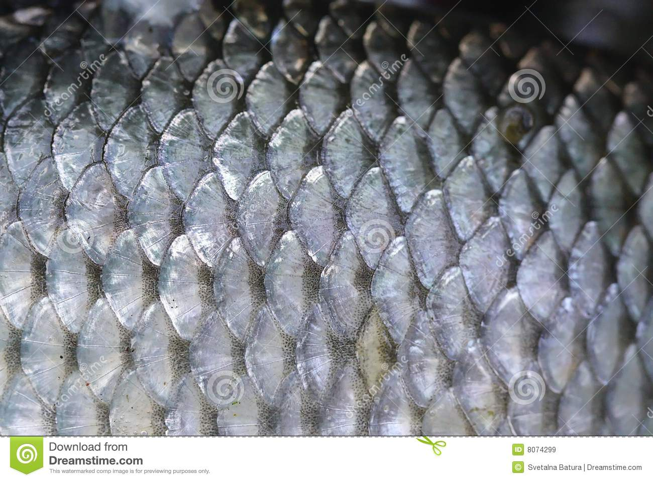 Fish scales royalty free stock images image 8074299 for Mlf fishing scale