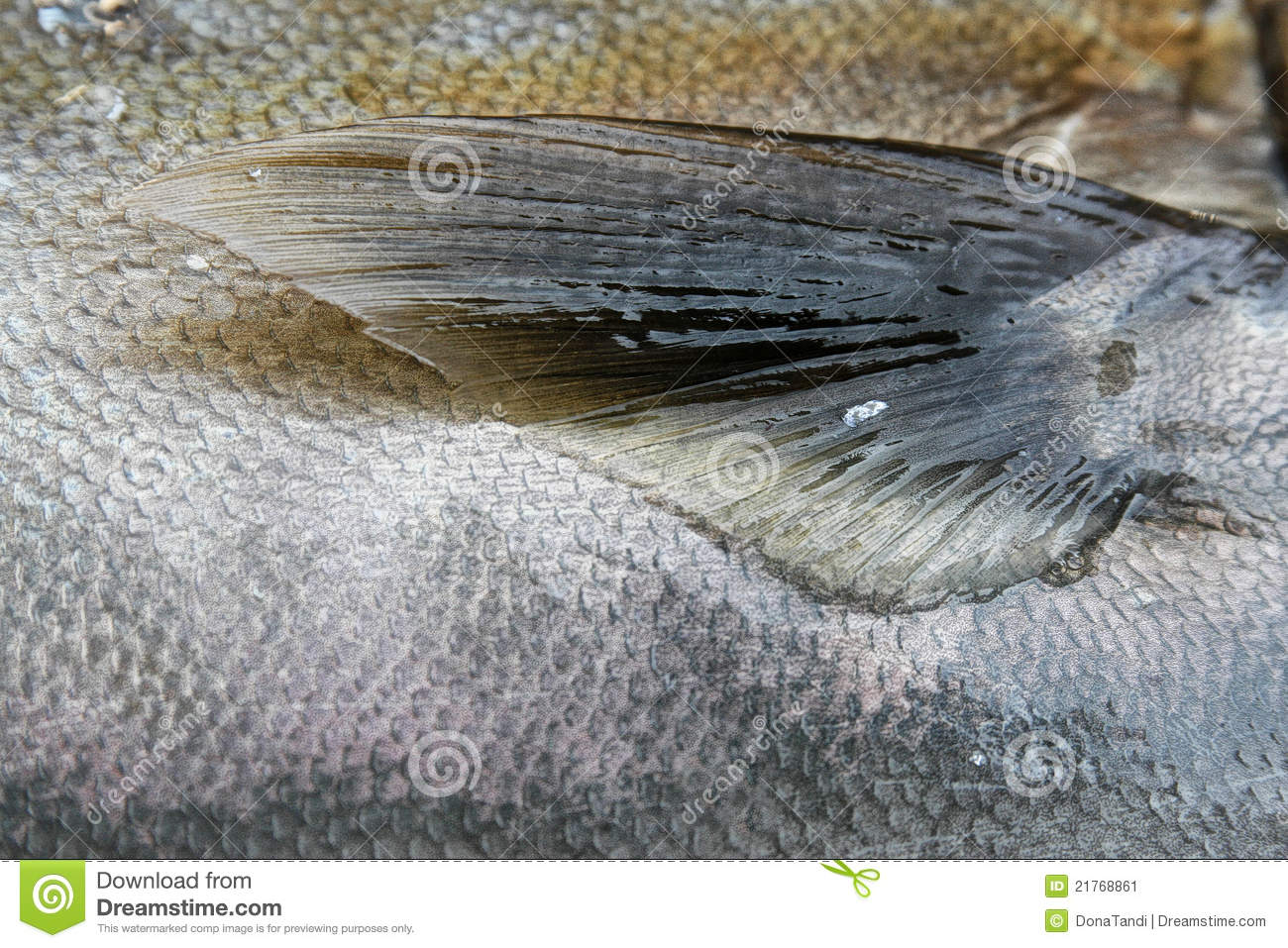 Fish scales and fin stock image image 21768861 for List of fish with fins and scales