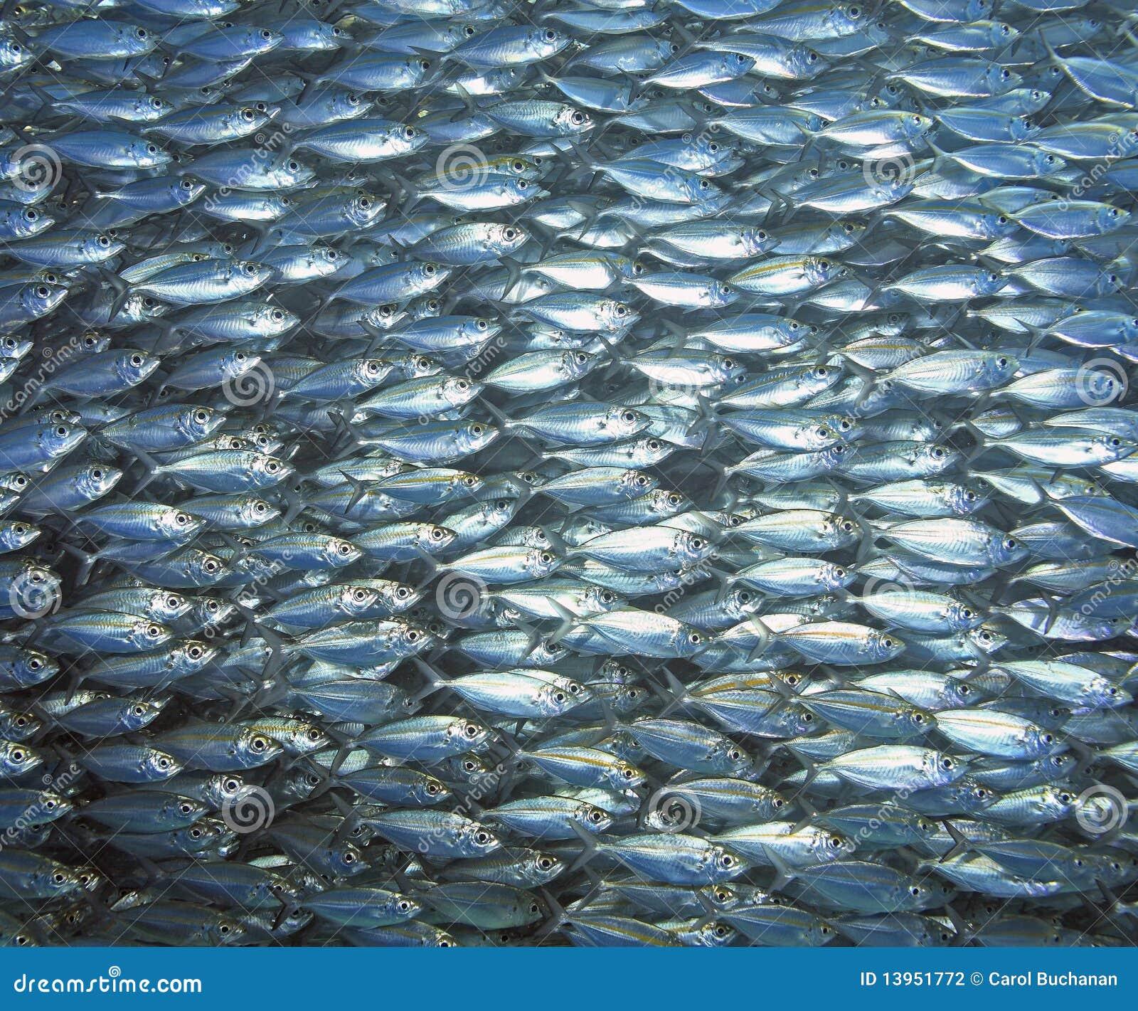 School of fish in the aquarium dangerous piranha behind for The fishing school