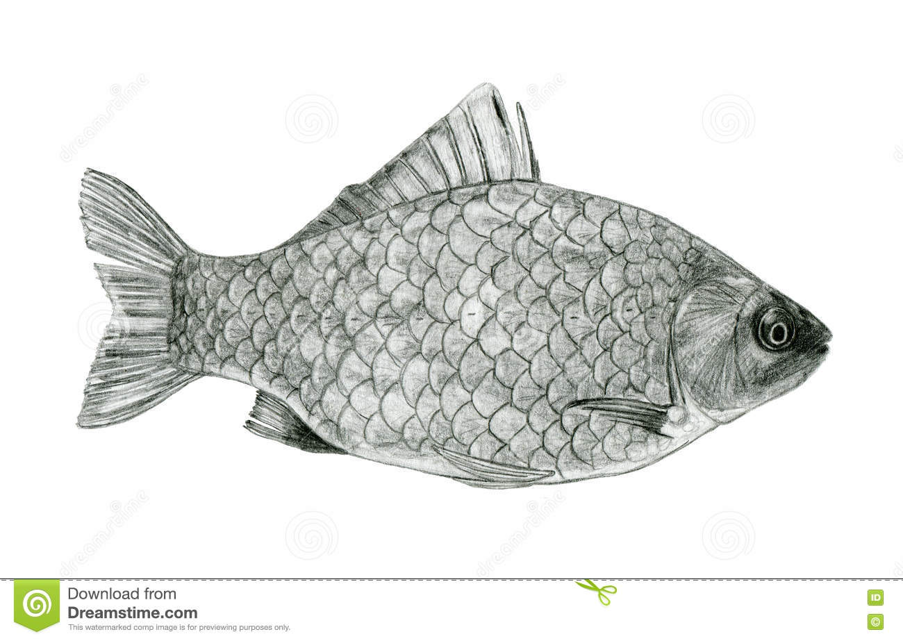 Fish sea bass sketch drawing stock illustration illustration of