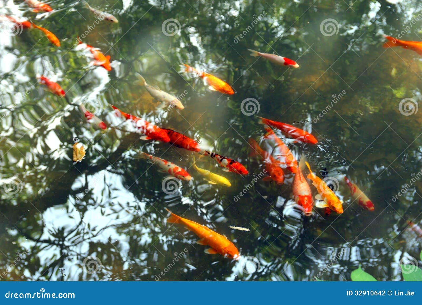 Fish shallow stock photography image 32910642 for Shallow koi pond