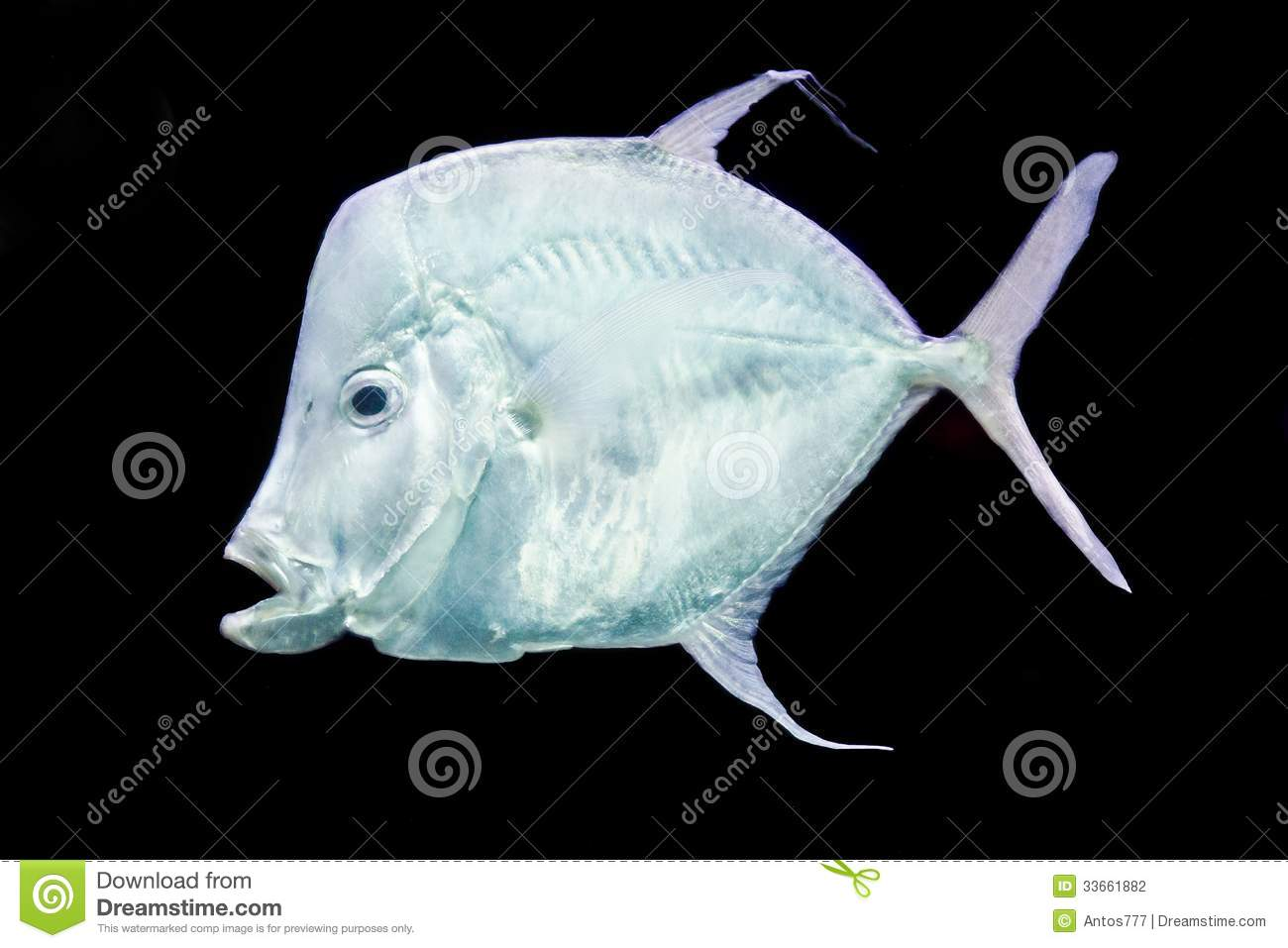 Fish silver moonfish lookdowns selene vomer stock photo for Opah fish price