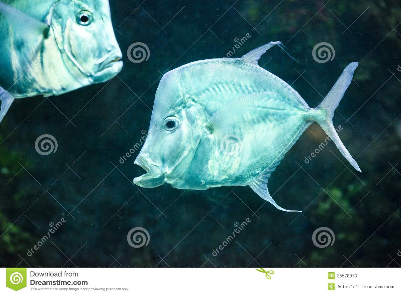 Fish silver moonfish lookdowns selene vomer stock photos for Opah fish price