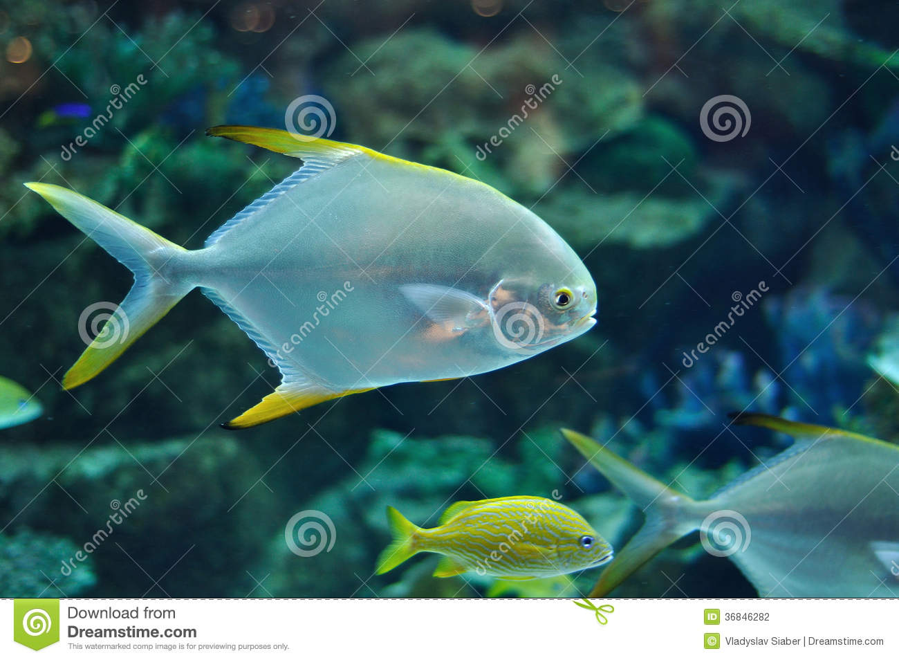 Fish similar to platax or pomfret in salwater aqua stock for Yellow fish tank water