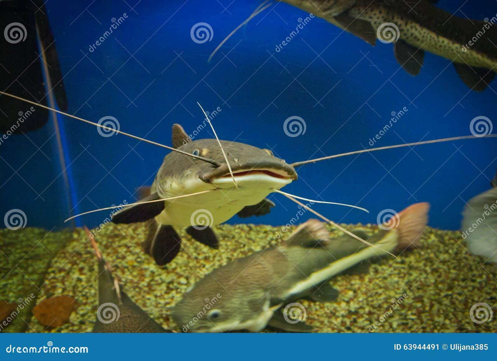 Mustache (fish). Mustache: photo and description