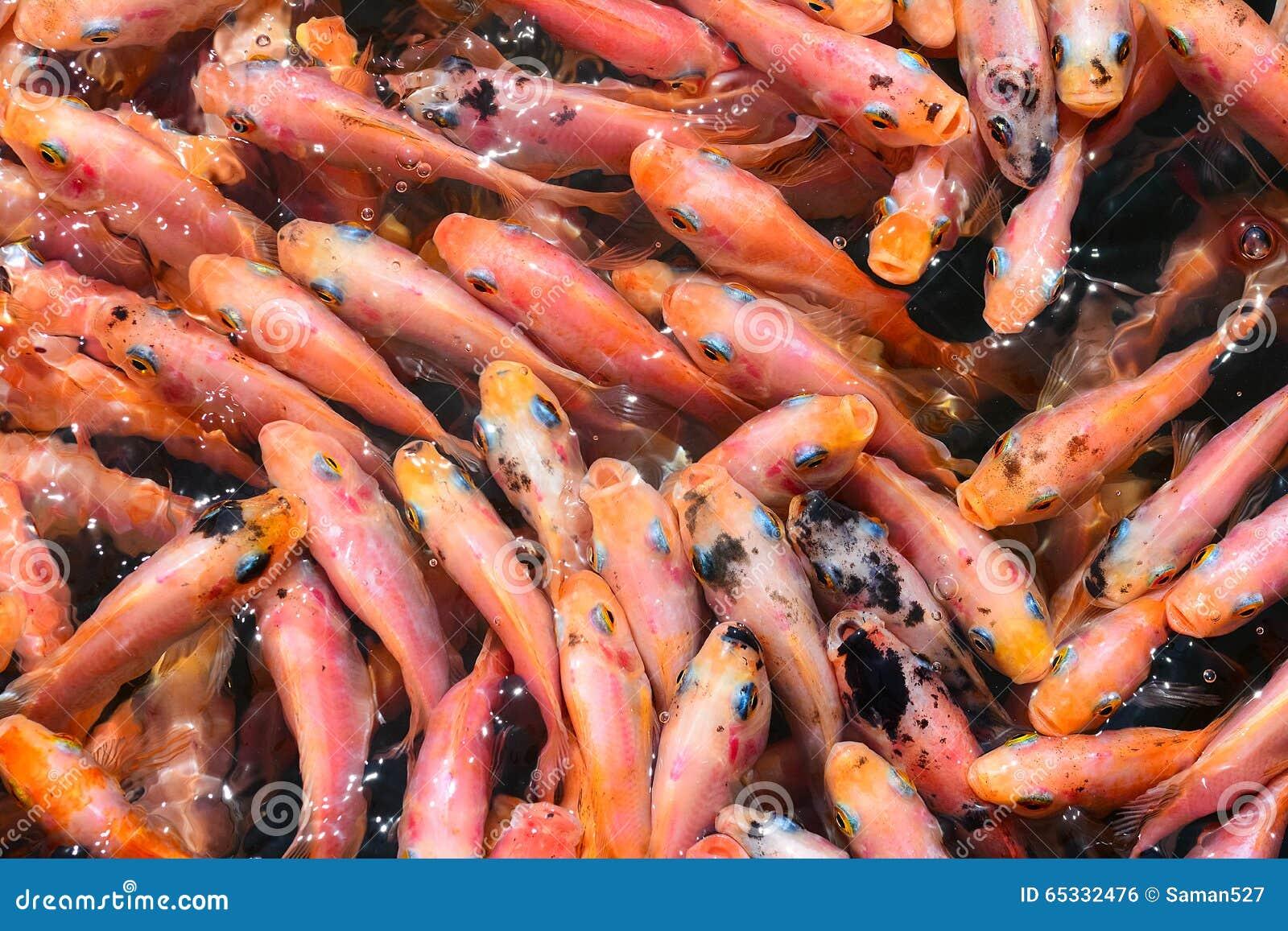 Aquarium fish tank sri lanka - Fish Spa Therapy At Madu River In Sri Lanka Royalty Free Stock Image