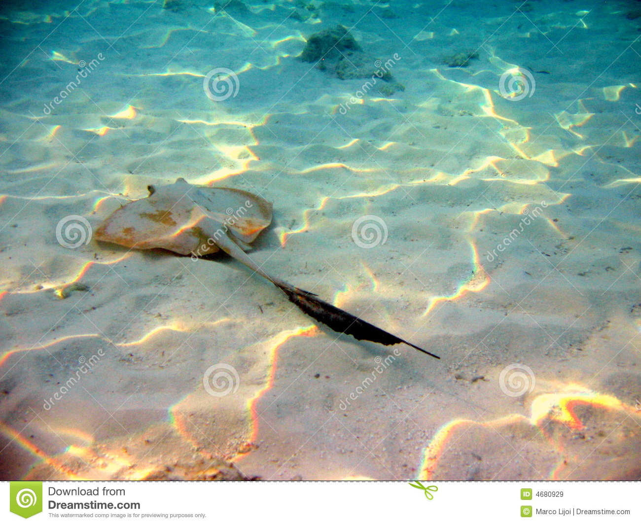 Fish stingray royalty free stock images image 4680929 for Is a stingray a fish