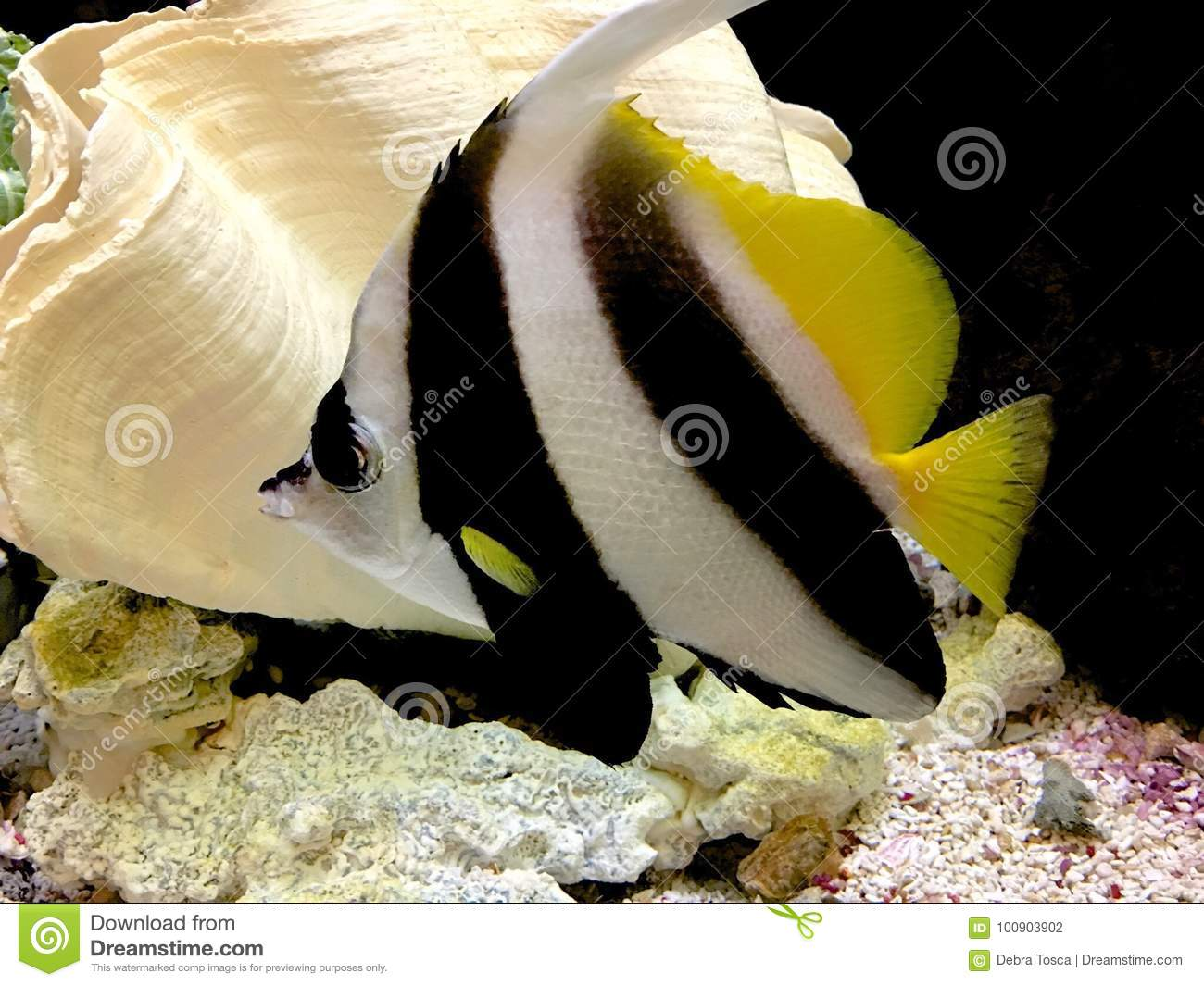 Fish Striped Stock Photo Image Of White Fish Aquarium 100903902