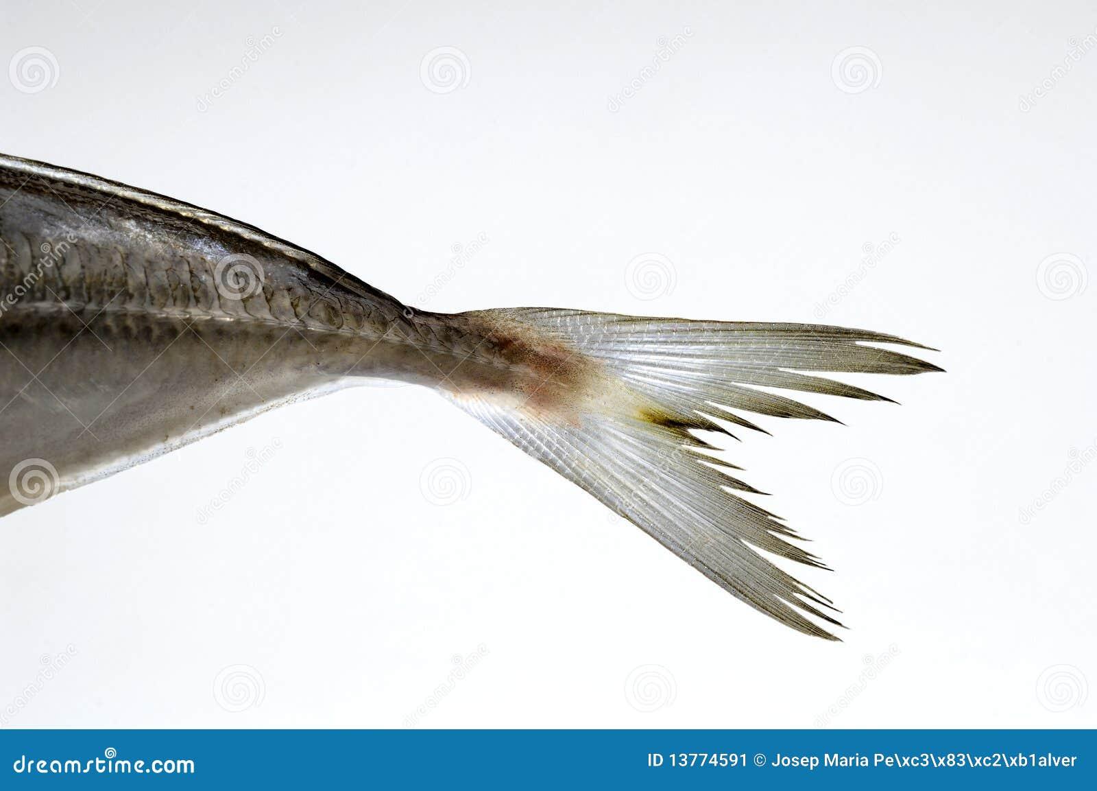 Fish tail fish beautiful - photo#15