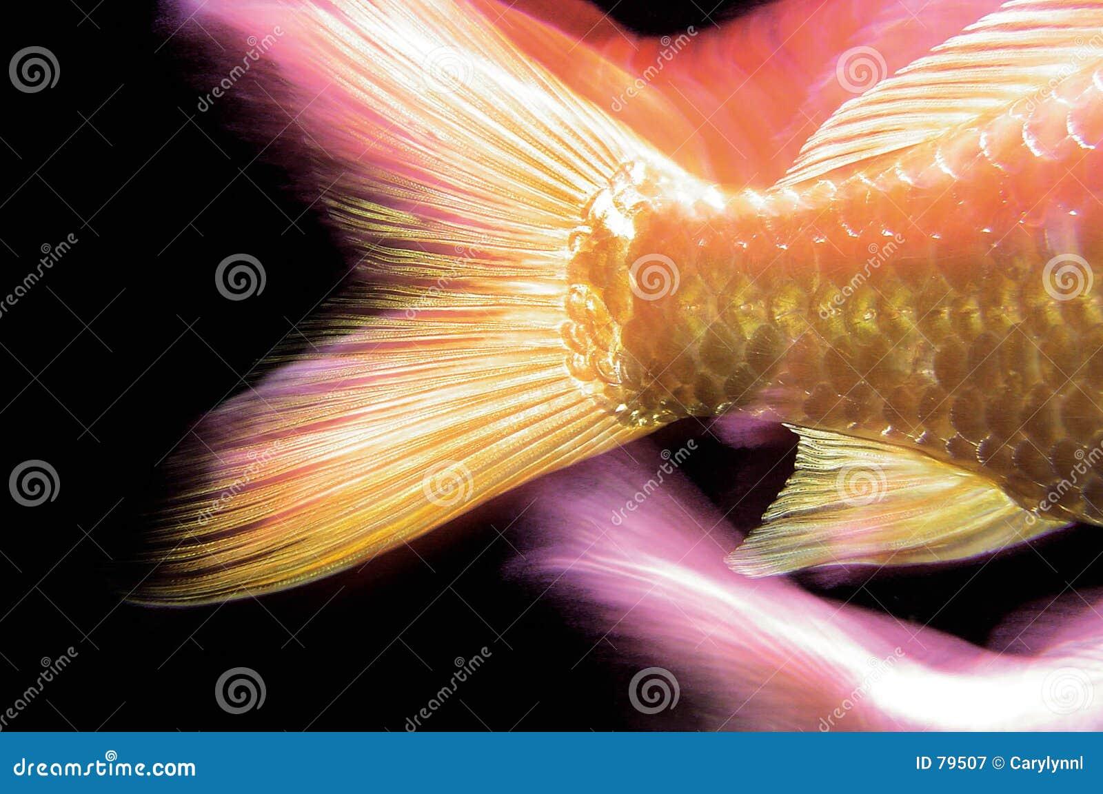Fish tail fish beautiful - photo#17