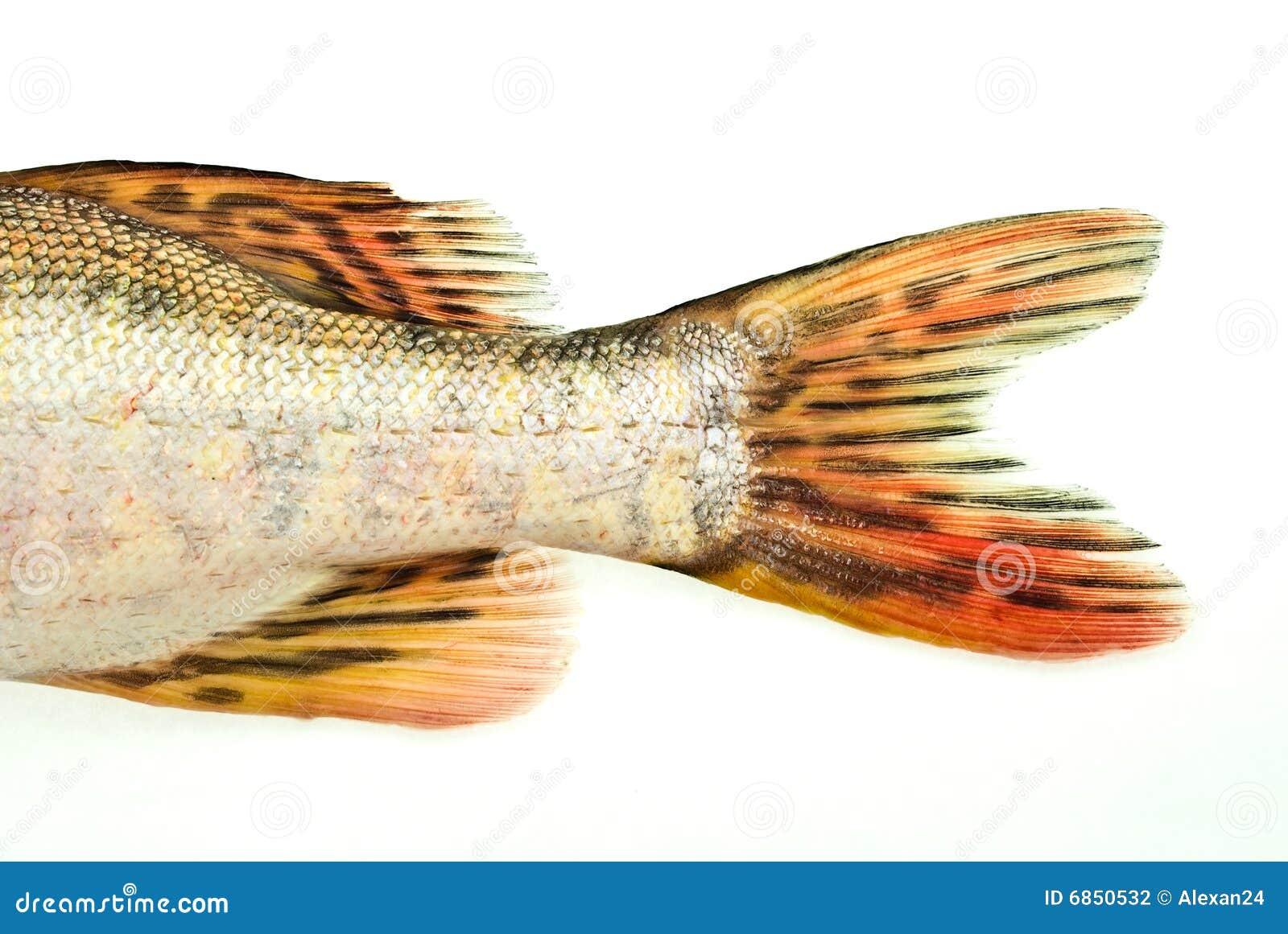 Fish tail fish beautiful - photo#22