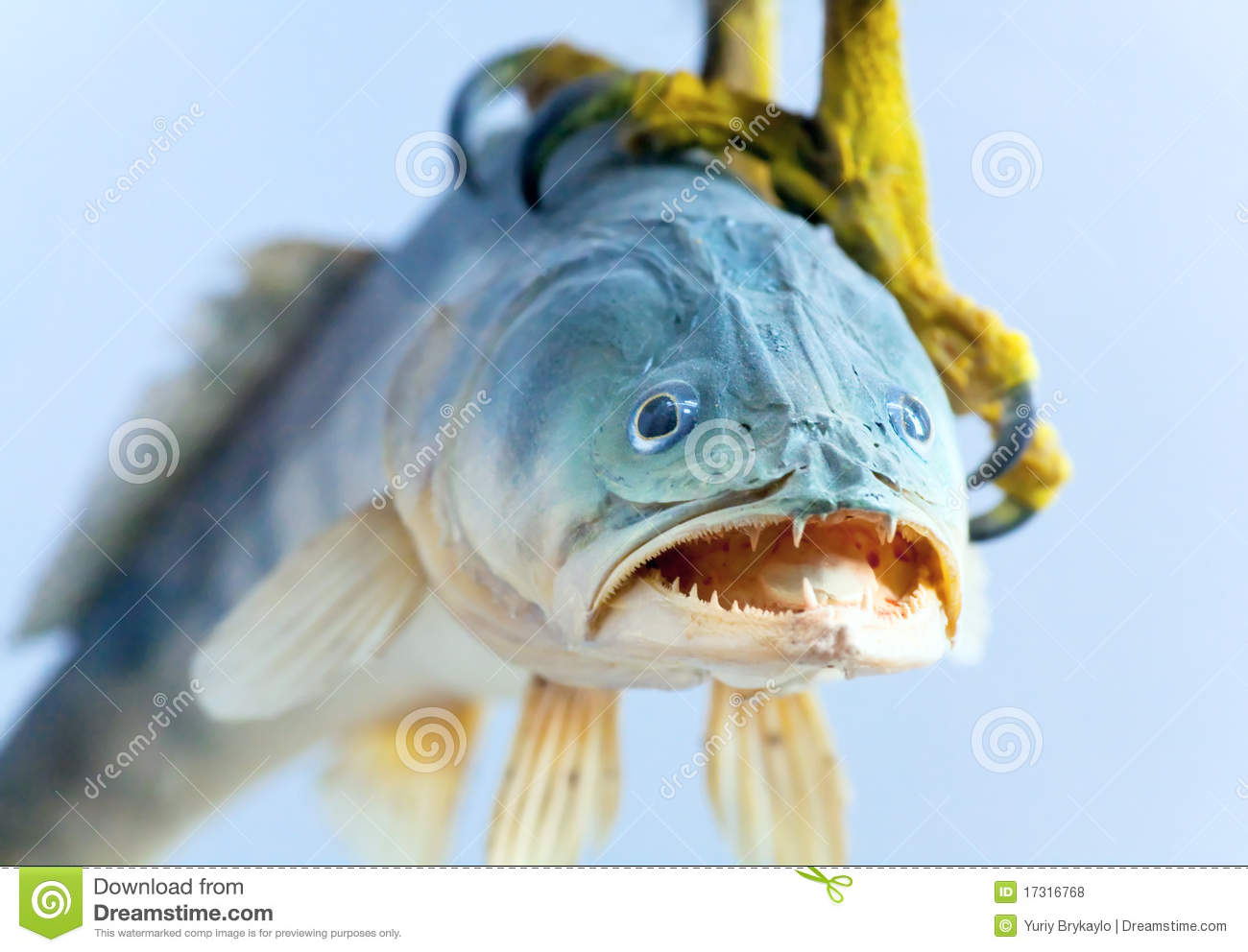 Fish in talon bird of prey royalty free stock photos for Dreaming of eating fish