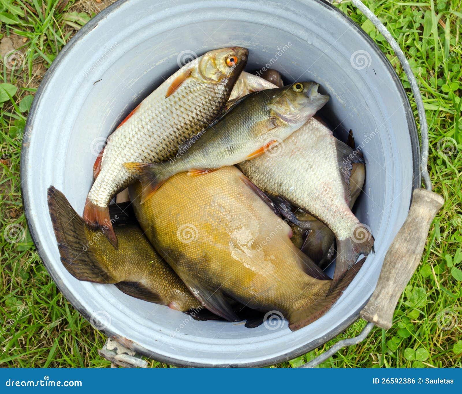 Fish tench roach bass catch in retro rusty bucket stock for Bucket of fish
