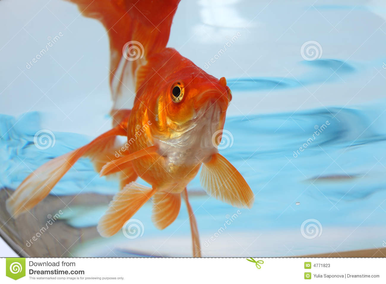 Fish in water stock image. Image of carp, gold, colour - 4771823