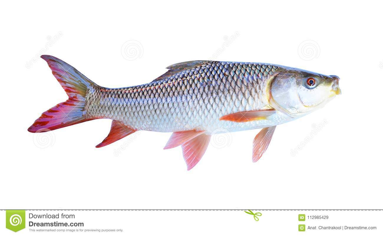 The fish on a white background