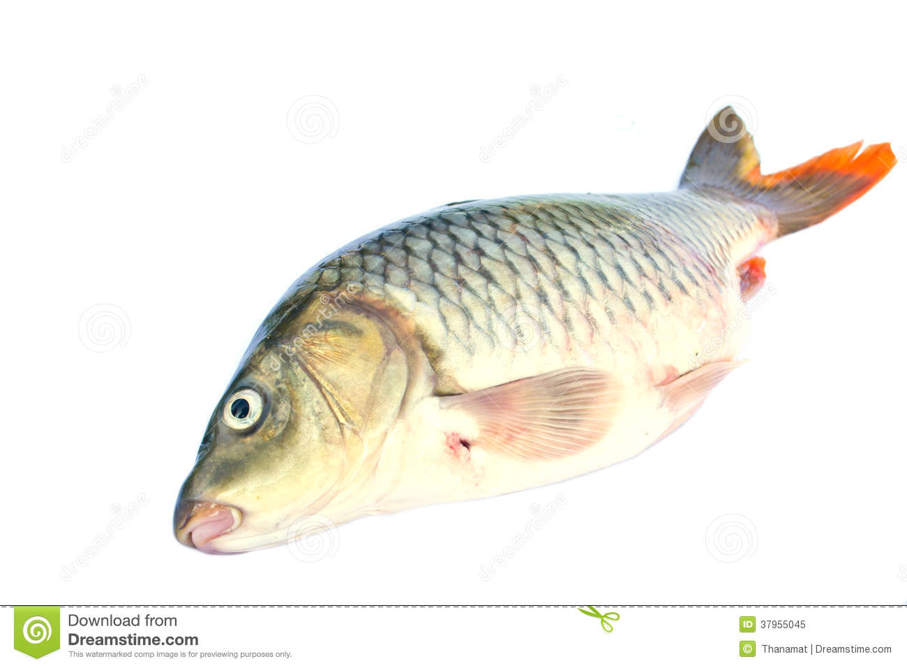 Fish on a white background royalty free stock photo for Cooking white fish