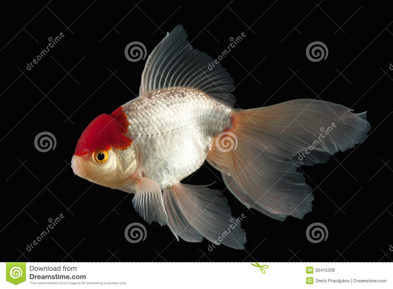 Fish white oranda goldfish with red head on black for Pictures of white fish