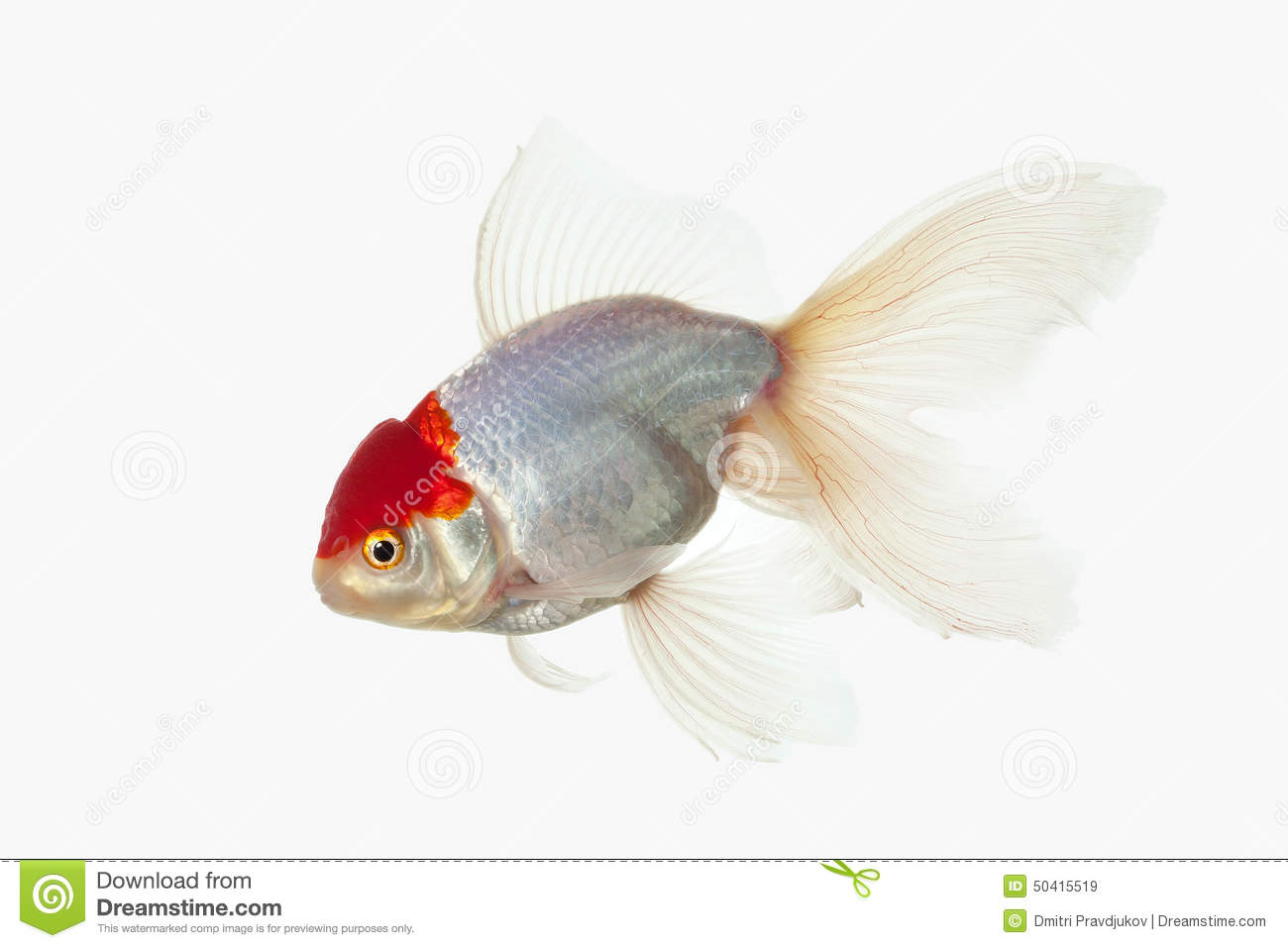 Fish white oranda goldfish with red head on white for Pictures of white fish