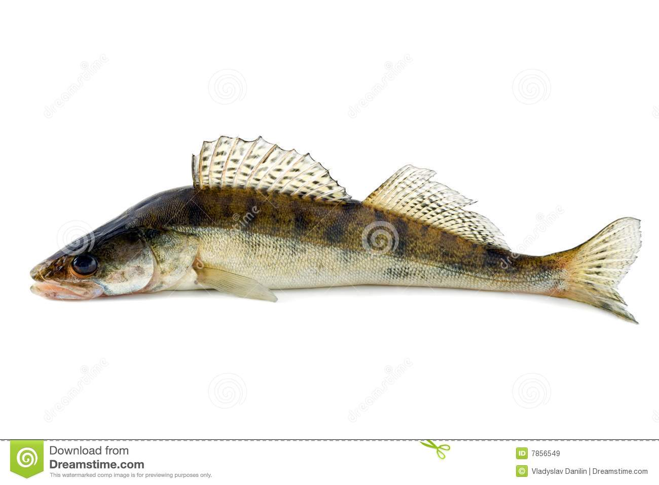 Fish zander stock image image of occupation gourmet for Image of fish