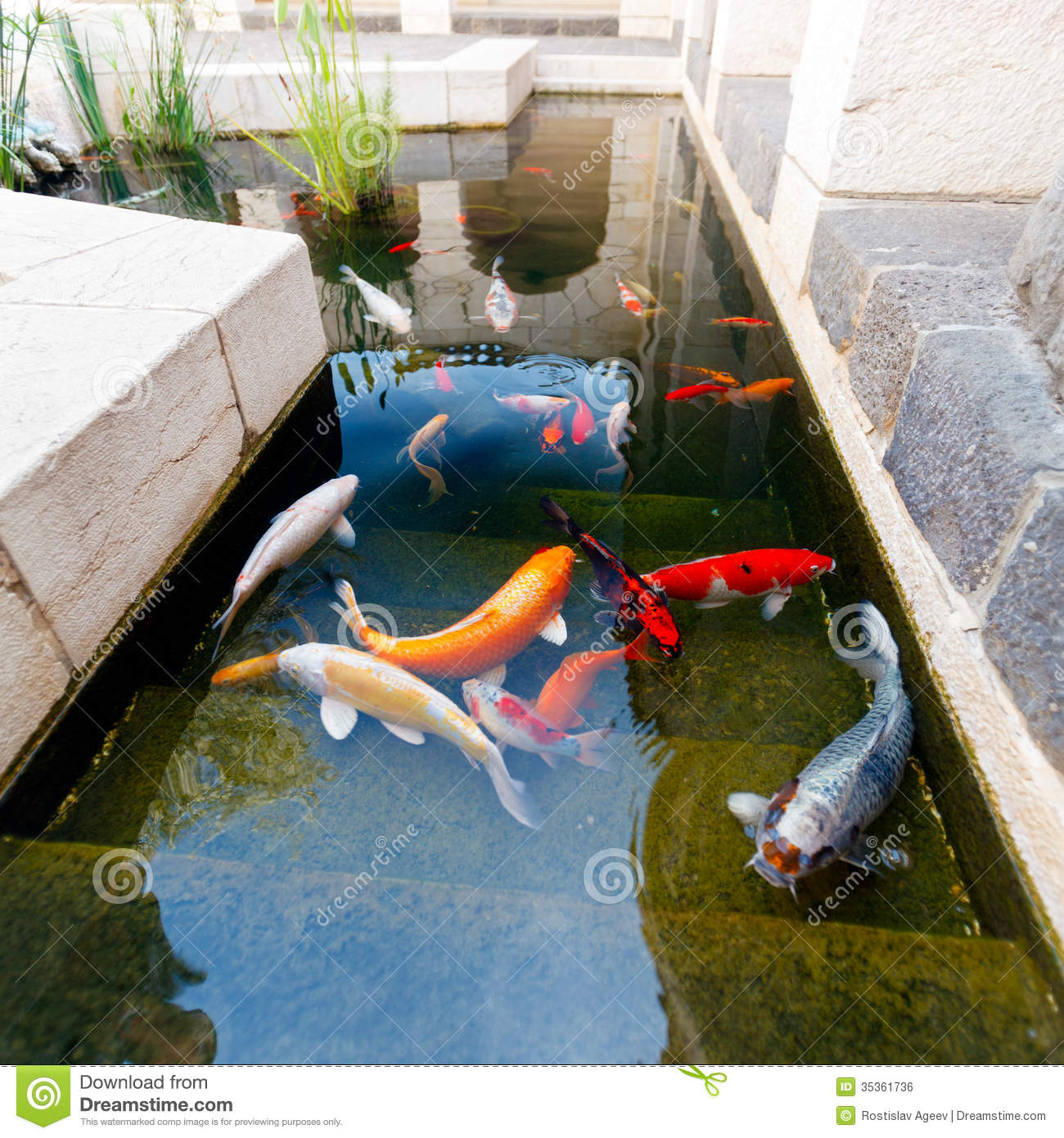 Fishes of koi pond royalty free stock image image 35361736 for Koi pond price