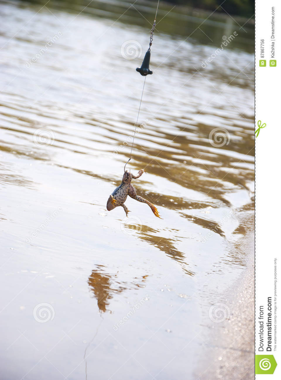 Fishing  Bait For Cat-fish - Frog On Hook On The River Stock Photo