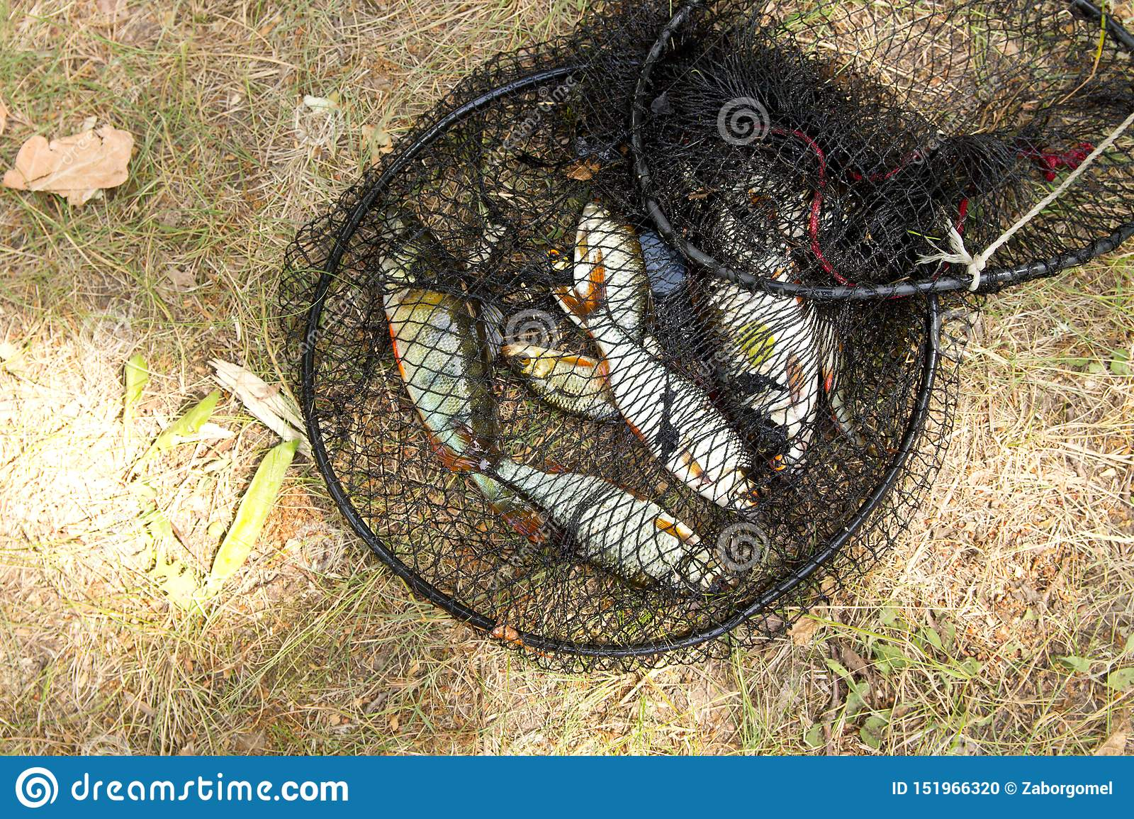 Fishing concept. Freshwater fish in the cage