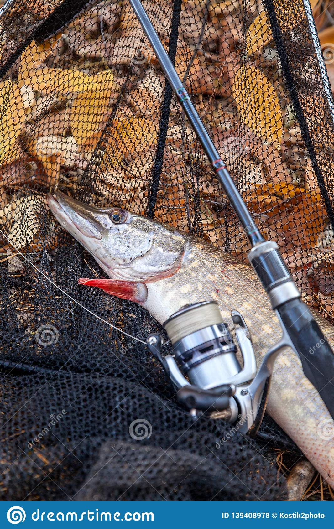 Freshwater pike fish. Freshwater pike fish, fishing rod with reel and black landing net as background
