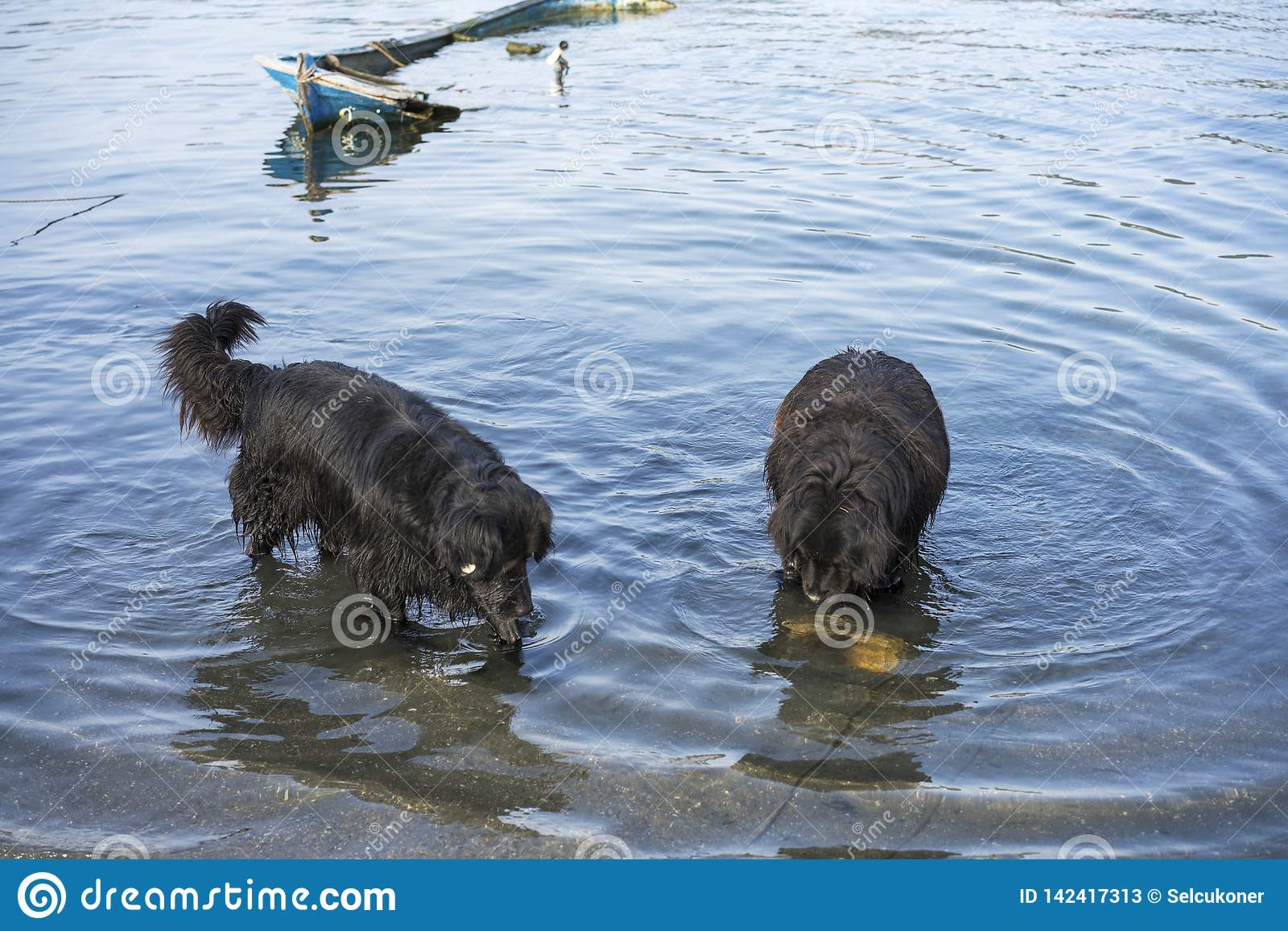 Fishing dogs searching fishes in the sea